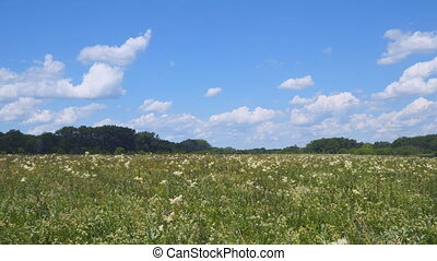 Summer meadow with white flowers. White meadow flower...