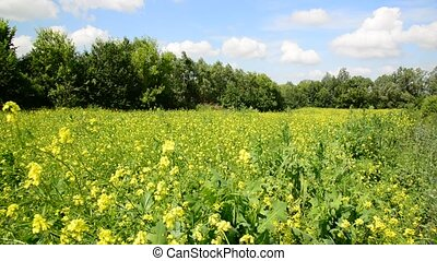 summer meadow with yellow flowers of rapeseed in Russia