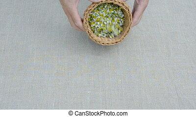 summer medical herbs chamomile