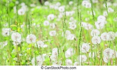 summer natural background of dandelions. unfocus background