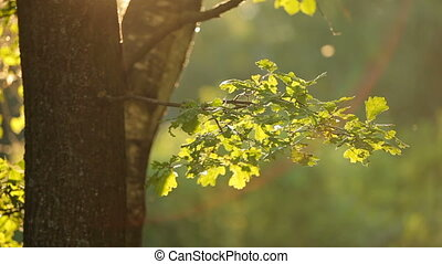 Summer natural background with green oak tree foliage.