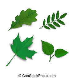 Summer oak maple ash birch leaves - Summer leaves set oak,...