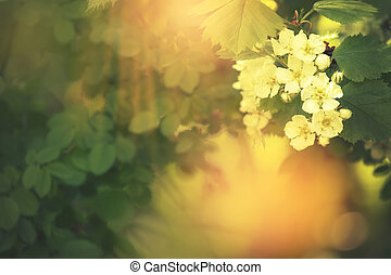 Summer or spring blossom green natural background, blooming hawthorn, blurred image, selective focus, shallow depth of field