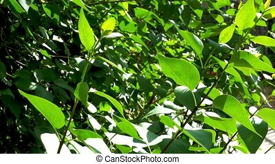 Summer or spring nature concept with green leaves and sun light. Beautiful nature background - green leaves of common ash on bright sun.
