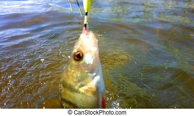 summer perch fishing bait