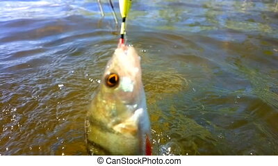 summer perch fishing bait - fishing on freshwater lakes in...