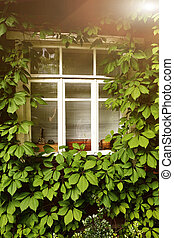 summer photo of old house window with ivy plant
