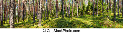 Summer pine forest panorama - Panoramic view of fir forest...