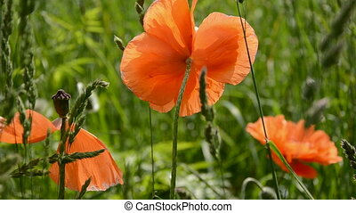 summer poppy blossoms in meadow