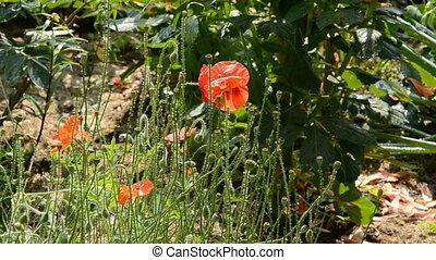 summer poppy watering