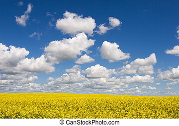 Canola fields and blue sky with puffy clouds