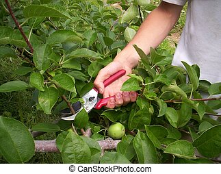 summer pruning trees - summer pruning apple trees orchard we...
