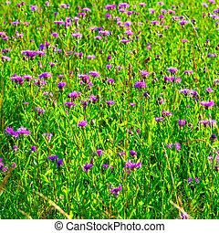 summer purple flowers in the Russian field