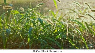 Summer rain. Rainwater downpour on fresh grass backlit by...