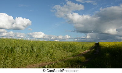 summer rapes field panorama