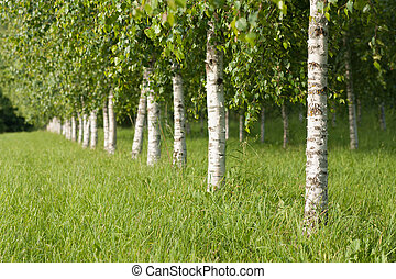 Summer scene with young birches
