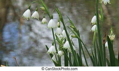 Summer snowflake, Leucojum aestivum in bloom - close up