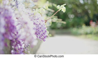 Summer sun shining through beautiful blooming wisteria...