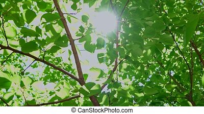 Sun shining through green leaves canopy - Summer Sun shining...