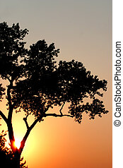 Summer sun - silhouette of a tree with the sun setting ...