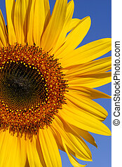 Summer Sunflower - Three quarter section of a sunflower...