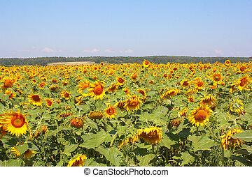 Summer sunflowers field under the hills