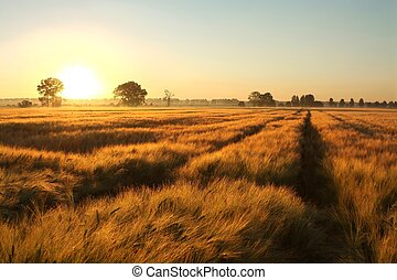 Sunrise over a field of grain with dirt road leading toward the horizon