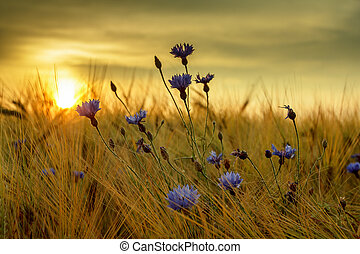 summer sunset over grass field with shallow focus