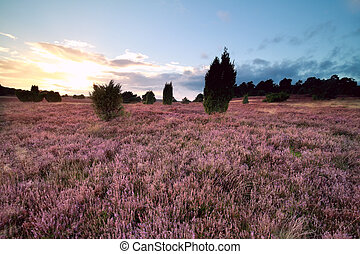 summer sunset over pink blooming heathland, Germany