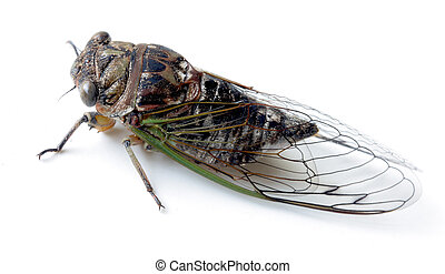 Swamp cicada - Summer Swamp cicada insect isolated on white