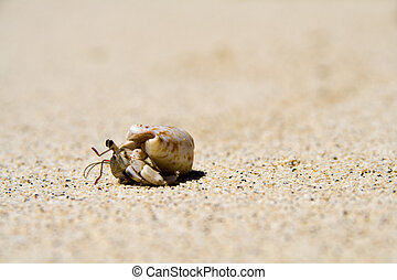summer time crab - slow hermit crab on the white samoan...