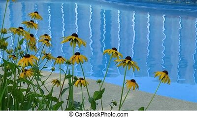 Summer time: Rudbeckia Hirta Black Eyed Susan flowers by the pool.