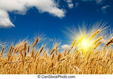 Summer view of ripe wheat. - Golden, ripe wheat against blue...