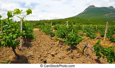 Summer vineyard at the foot of mountain Demerdzhi near...