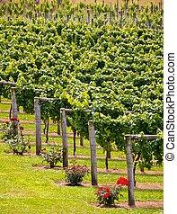 Summer vineyard in New Zealand