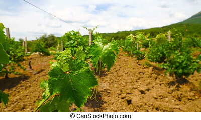 Summer vineyard on slopes of the hills growing grape vines...