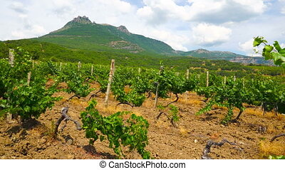 Summer vineyards at the foot of mountain Demerdzhi on...