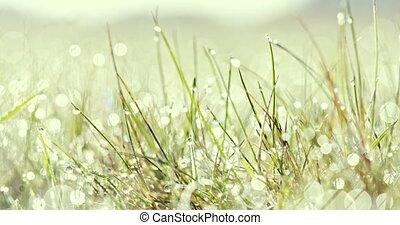 Summer weather, dew on grass - Fresh summer grass. Raindrops...