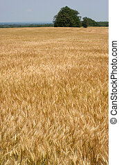 Summer Wheat - undulating golden wheat in a humid summer...