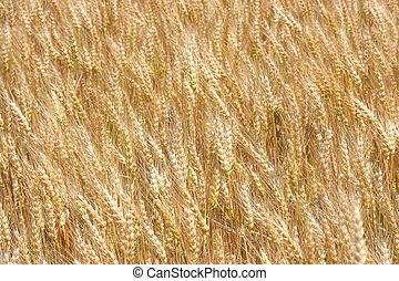 Summer Wheat - undulating golden wheat in a humid summer ...