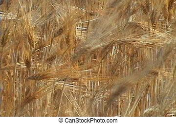 Summer Wheat - Wheat blowing in the wind