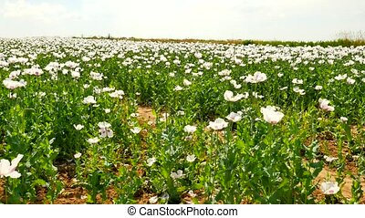 Summer white poppy field. with some waterless places....