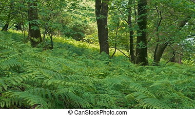 Summer Woodland With Carpet Of Ferns - Verdant woods with...