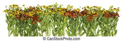 Summer yellow and red garden daisies line