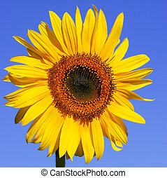 Sunflower in full bloom, against a clear blue sky summers day.