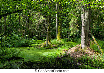 Summertime alder-carr stand of Bialowieza Forest with ...