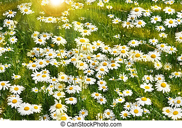 Daisies growin in a field with warm summer sun background