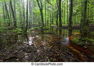 summertimesunrise, ב, רטוב, נשיר, עמוד, של, bialowieza, יער