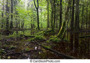 summertimesunrise, decíduo, floresta, molhados, bialowieza, levantar