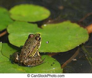 sumpf, frosch, rana, ridibunda